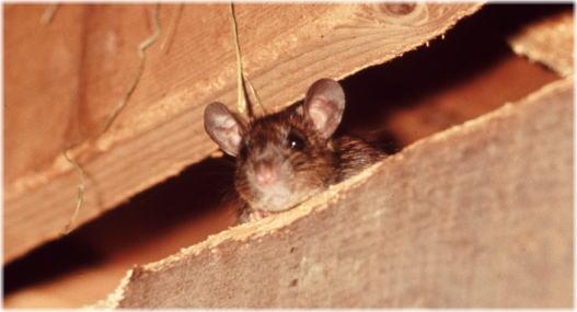ネズミの画像 p1_14